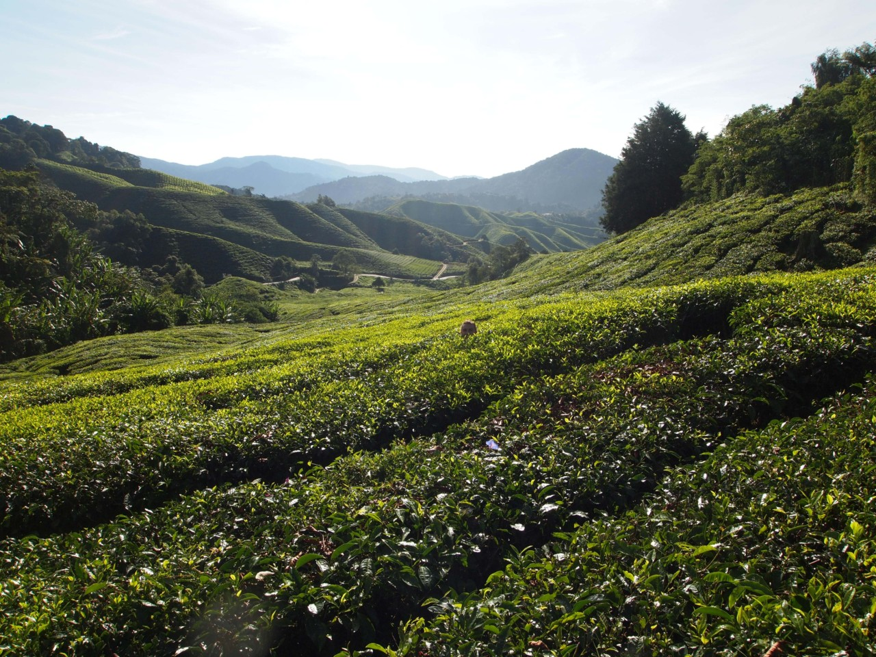 Eines der Teeplantagen. Gott, sind die groß :P