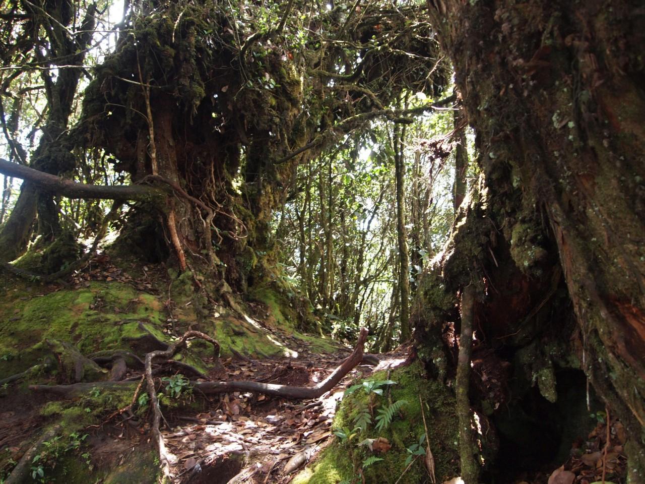 Durch die milden Temperaturen ist in dieser Höhe der Dschungel mit viel Moos bewachsen.