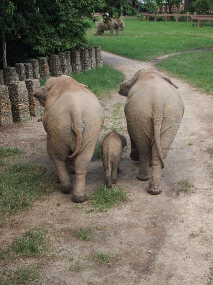 runzelige Elefantenpopos. Babyelefant (4 Monate) mit Mama und Nanny