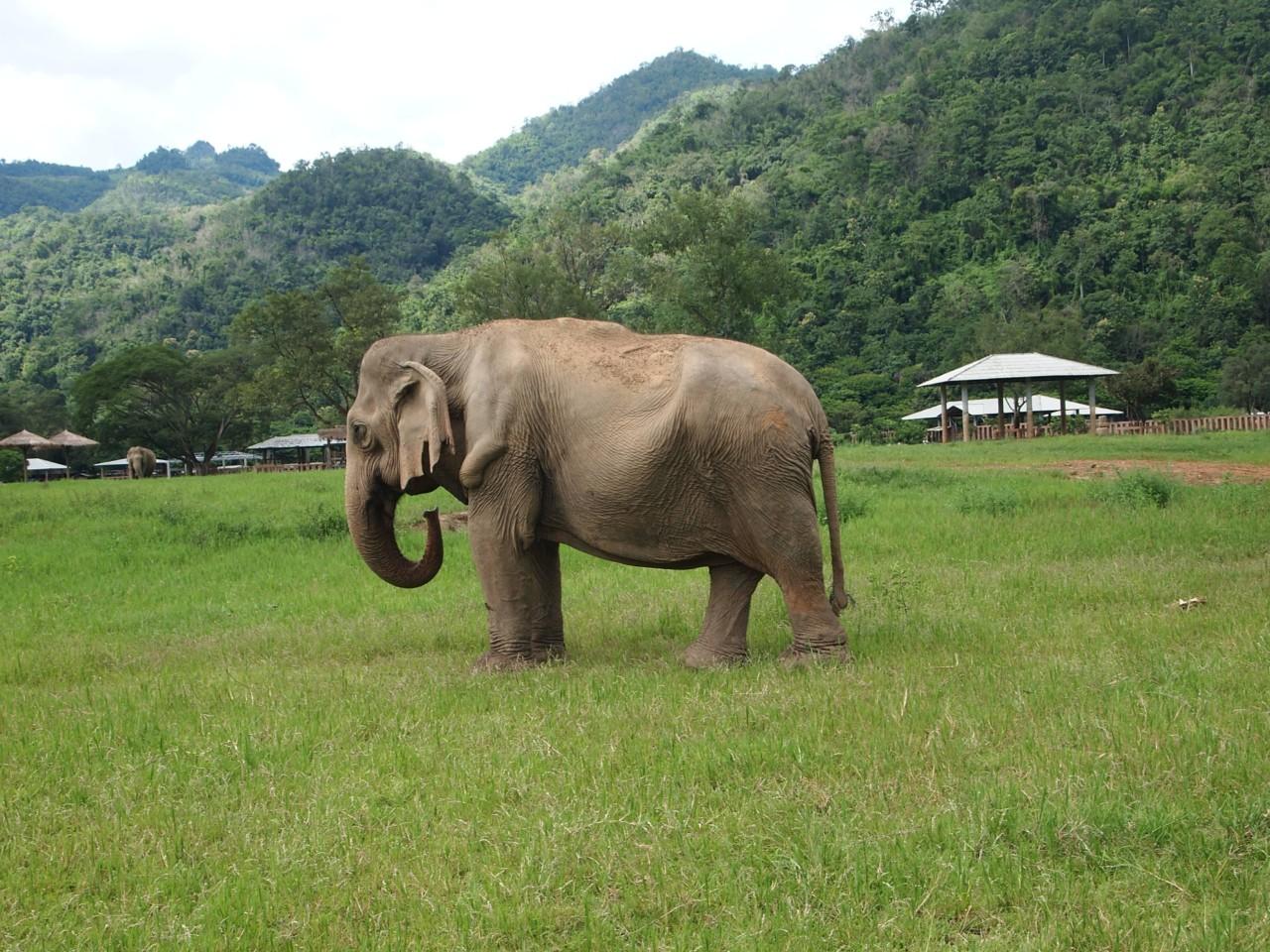 Bei der Arbeit ist diesem Elefanten ein schwerer Gegenstand auf den Rücken gefallen, wodurch einige seiner Knochen gebrochen sind. Dabei ist der seltsame Knick entstanden. Auch deshalb ist Elefantenreiten nicht besonders gut für die Elefanten, da ihre Knochen im Rücken leicht brechen können.