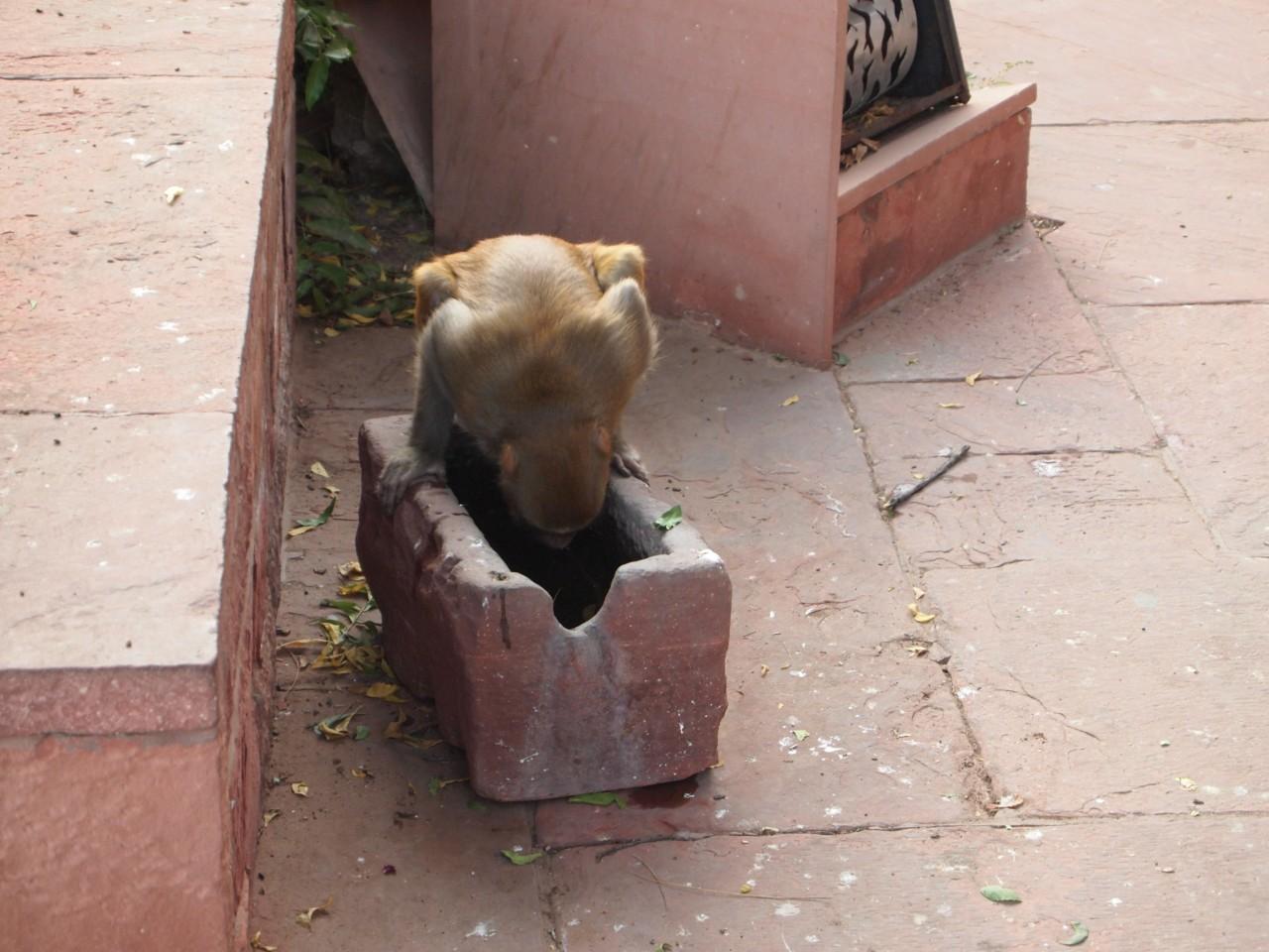 Viele Affen leben im Fort
