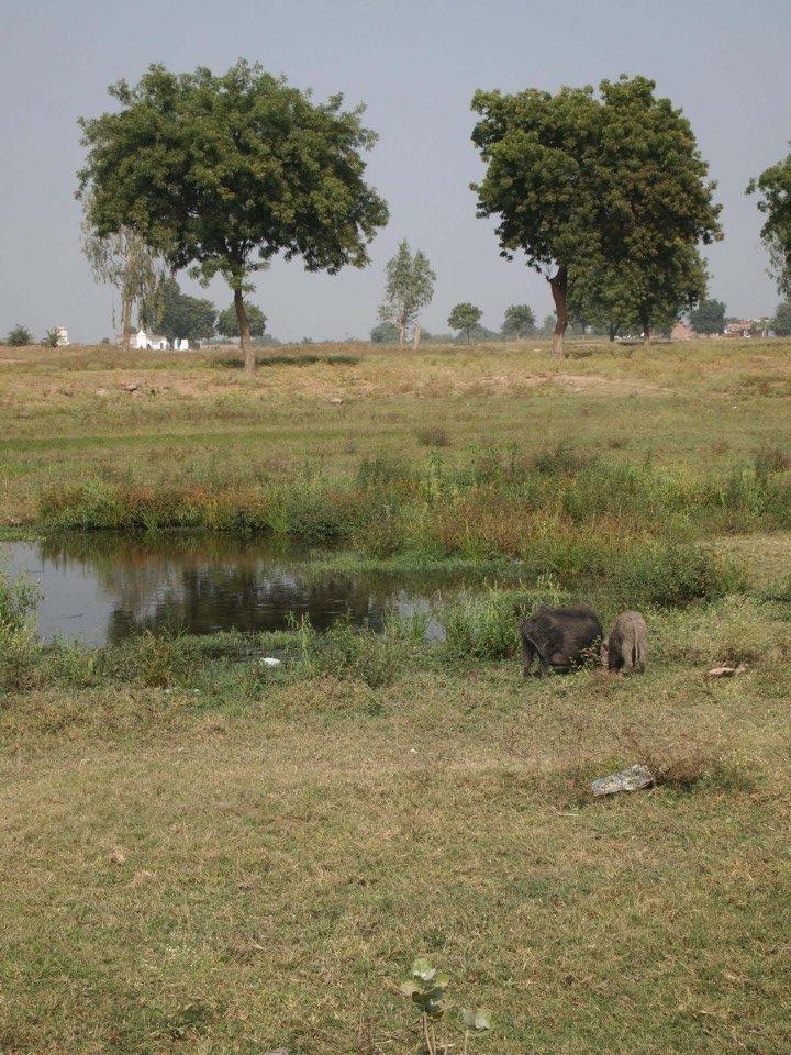 In Indien laufen überall Schweine, Kühe, Ziegen und was es sonst noch so gibt rum.