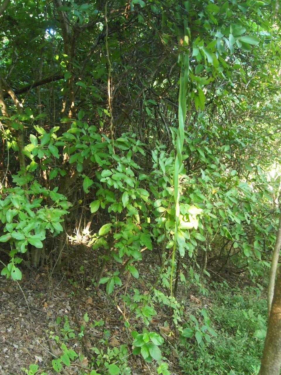 Diese zwei Schlangen hingen direkt vom Baum runter über einem Weg. Fast wären wir in sie gelaufen.