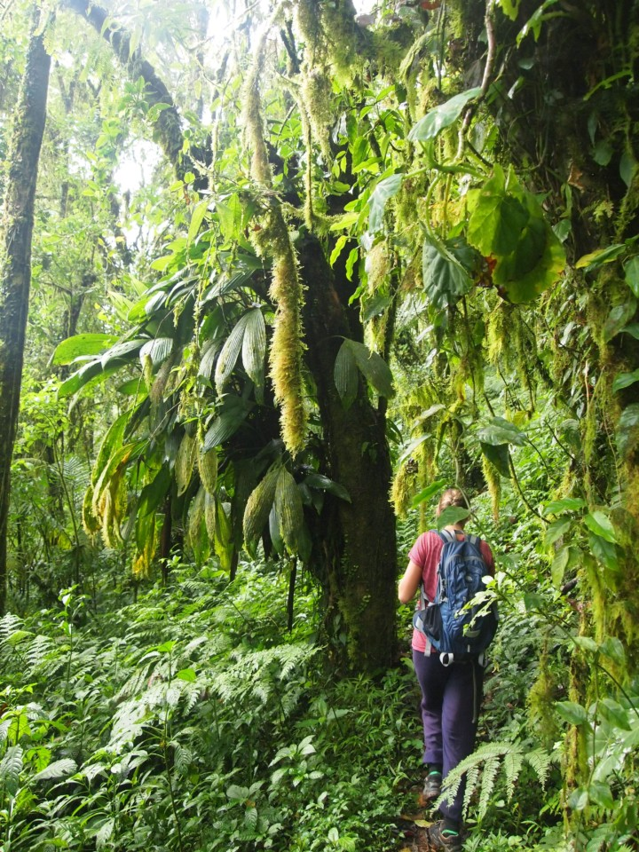 """Der """"Schwarzwald"""". Er erinnert etwas an einen deutschen Wald, jedoch gemischt mit tropischen Pflanzen und Kaffeepflanzen."""