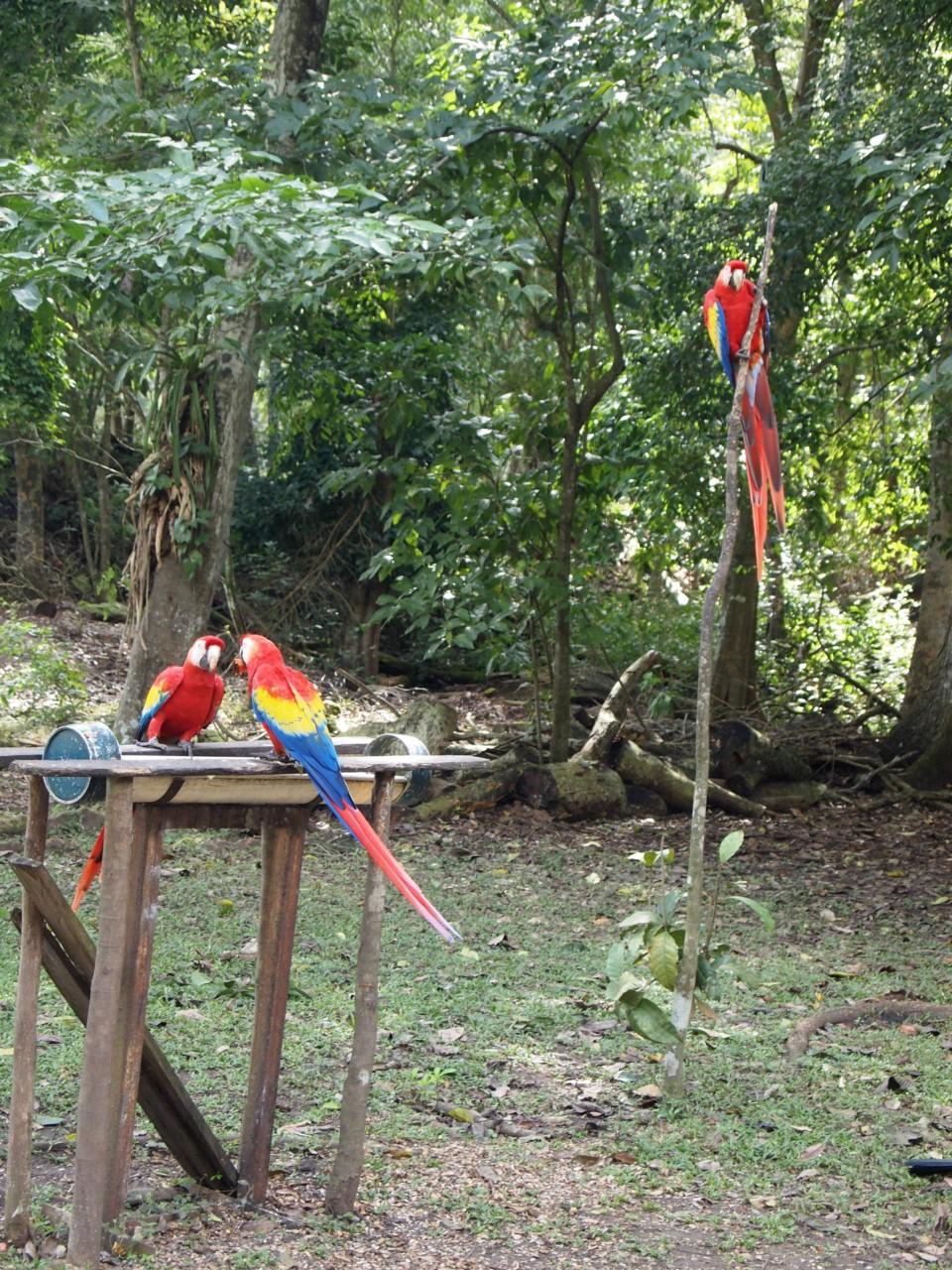 Auf dem Gelände der Ruinen gab es außerdem ein Schutzgebiet für den Nationalvogel: diese hübschen, bunten Papageien. Neben vielen Papageien waren auch viele andere schöne Vögel zu sehen.